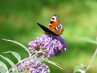 Butterfly on Buddleia Taken by Patricia Stout-1345980895